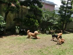 ペットホテルの庭で遊ぶ犬
