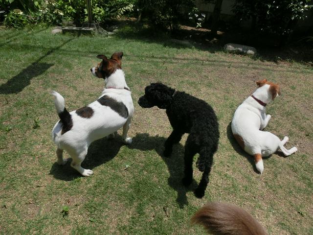 ペットホテル、犬の保育園、ジャックラッセルの日