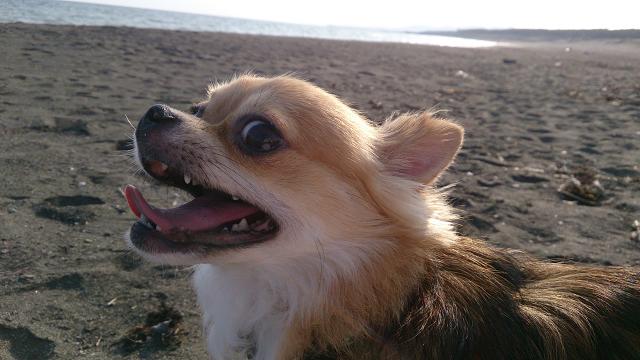 犬の保育園のサザンビーチへの散歩!