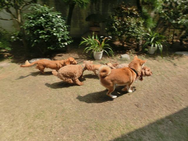湘南のペットホテル、犬の保育園、長期お預かり、仲良しでよーいドン!