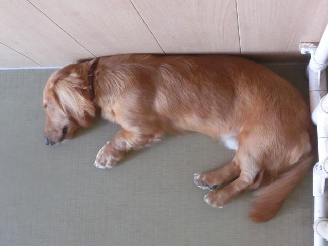 湘南のペットホテル、長期預かり、クールシェアで爆睡中!