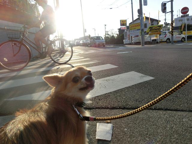 湘南ペットホテル、犬の保育園、交差点も大丈夫になりました!