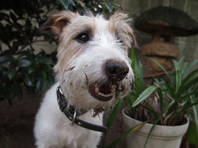 湘南ペットホテル、長期お預かり、お庭で穴掘りしてました!