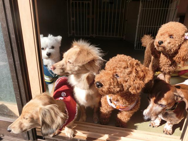 湘南ペットホテル、長期/定期お預かり、さあ!庭に出て遊ぶよ!