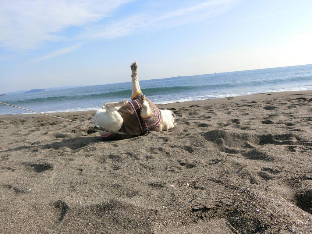 砂浜でゴロン リラックスする犬