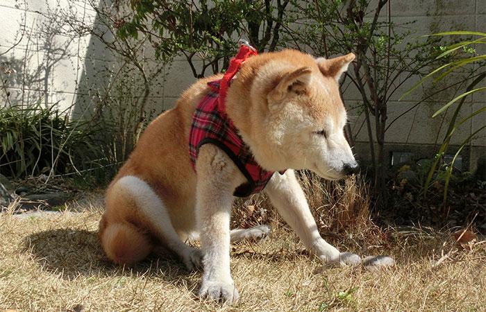 シニア犬 庭で日向ぼっこ