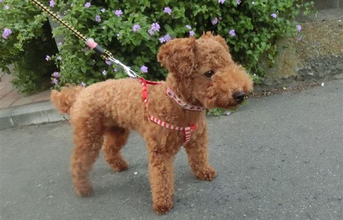 子犬の社会化レッスン お散歩練習